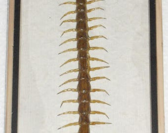 Real CENTIPEDE Collection Taxidermy in Box /INF05