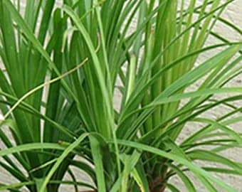Spike Dracaena-Cordyline-Houseplant-Shade Plant-Easy Care Plant-Tropical-Indoor Plant-Cordyline Tree-Cordyline Shrub-Cordyline Dracaena