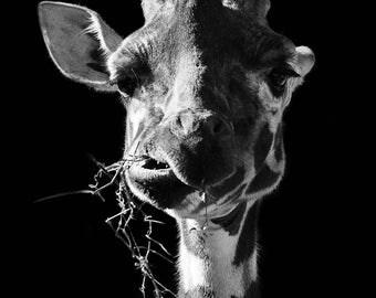 Poster funny giraffe in black and white