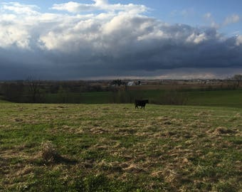 Black cow, green grass, stormy sky, scenery, country, ranch