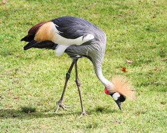 Framed East African Crane Photography