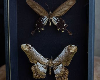 Real Insect Framed-Entomology-Curiosity