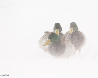 Royal Mallard Group in the midst of the storm