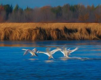 Painterly Swan Landing Nature Photograph Digital Download