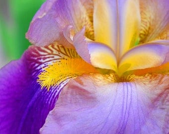 Purple Iris - 11x14 Metal Print