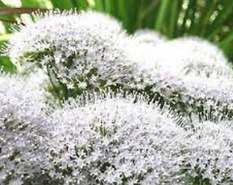 White Throatwort- Trachelium- 100 Seeds