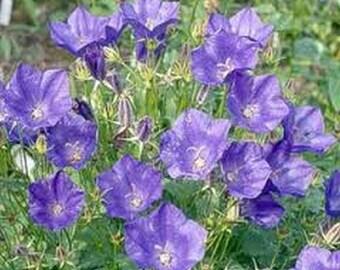 Tussock Bellflower- Purple/blue- 200 seeds