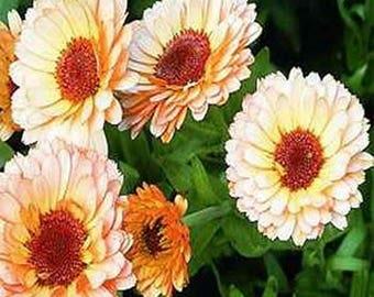Calendula Pot Marigold- Pink Suprise- 50 Seeds