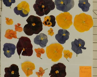 Real Pressed Dried Flowers 25 Assorted Flowers with Pansy Ready for your project Craft supply