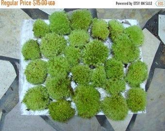 Save25% Terrarium Moss-Live Moss-Pillow Moss-12 small pieces-terrariums-Cushion Moss