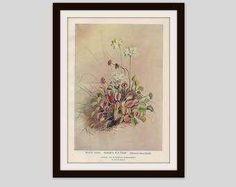 Venus Fly Trap Botanical Print Cottage Decor Wildflower Art Antique Illustration Carnivorous Plant Victorian Lithograph Botany, (ERW32)