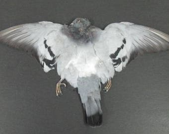 Gray Rock Dove Pigeon Dried Bird Pelt Wings Feathers Art Craft Taxidermy