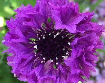 Purple Bachelor Buttons Frilly Annual Cottage Cutting Garden Old Fashioned Flower Seeds