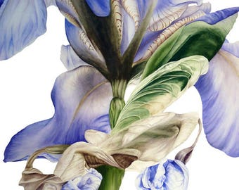 Blue Iris Art Print, Large Botanical Print, Wall Decor, Office Decor, Gift for Her,  Botanical Watercolor, Iris Print