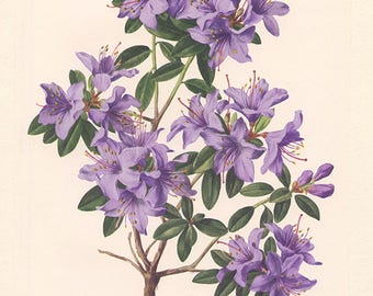 Rhododendron violet vintage1972 Illustration de rhododendron vintage image de fleurs mauves illustration botanique Rhododendron Blue Tit