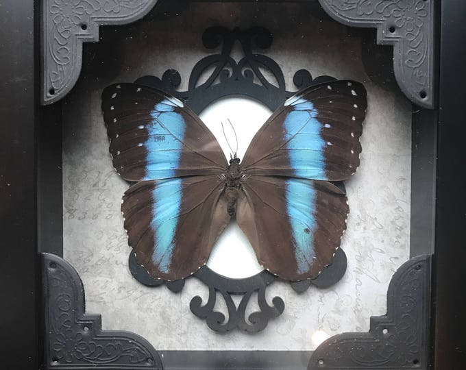 Black banded blue morpho butterfly taxidermy display!
