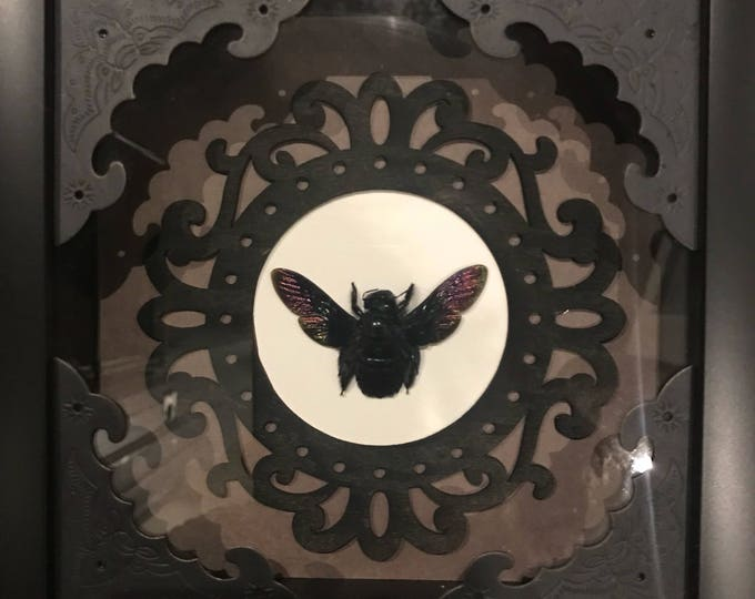 Black carpenter bee taxidermy display! Real!