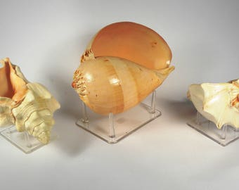 "3 Large ""mounted"" Collectors Sea Shells"
