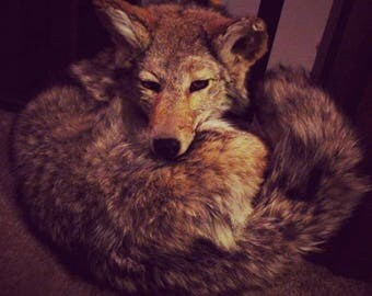 Coyote Soft Mount Commission