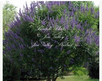 Chaste Tree 30 Seeds Fast Grower Purple Plumes Aromatic Attracts Hummingbird and Butterflies Indoor - Outdoor Deck Plant Vitex angus castus