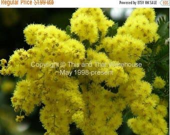 12 seeds Golden Mimosa Tree Bonsai Cootamundra wattle Fast Grower Container Gardening Bonsai - Standard Acacia baileyana