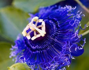 Passiflora passion blue seeds ,197, the clock flower,flower seeds, gardening, climbing flower, clock flower,