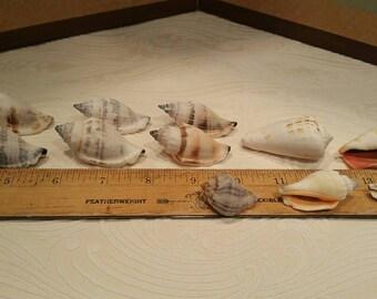 Natural beach shells