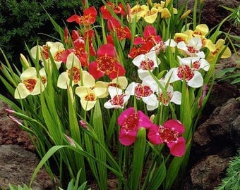 BIG SALE Mexican Shellflower (bulbs - Mix) - Tigridia pavonia mixed