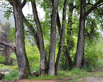 Panorama of Cottonwood Trees