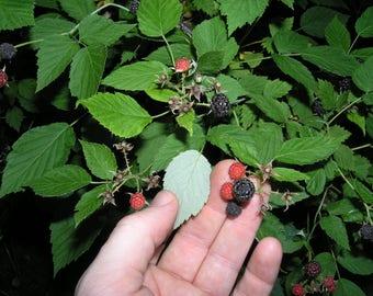 3 Wild Black Raspberry Bush LIVE PLANTS ~Edible fruit ~Jams,Jellies,Pies