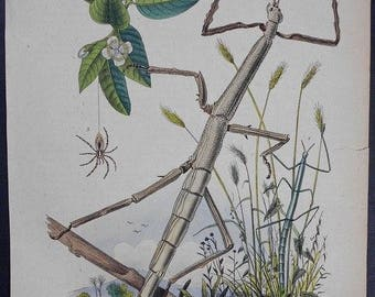 1839: Stick-Bug Phasmatodea, Phasme & Spider, Engraving. Antique Hand-colored Print, Guerin. Original. Over 175 years old.