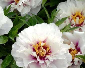 Itoh Peony Cora Louise ~ SHIPPING OCTOBER