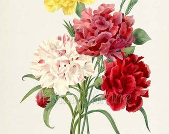 Carnation Flower Art Print, Botanical Art Print, Flower Wall Art, Flower Print, Floral Print, Redoute, red, yellow, pink, white, Oeillet