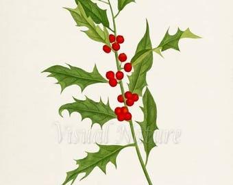 Holly Art Print, Botanical Art Print, Wall Art, Botanical Print, Christmas Holly art print, red berry