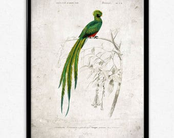 Quetzal Bird Vintage Print - Bird Poster - Bird Art - Bird Picture - Bird Illustration - Home Decor - Wall Art - Orbigny