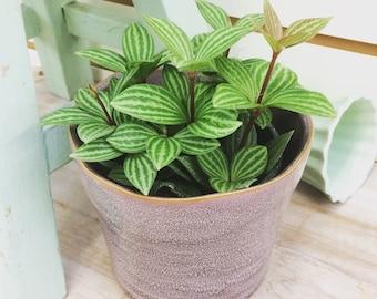 "Stilt Peperomia Plant 4"""