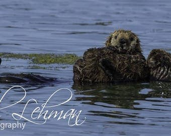California sea otter with pup