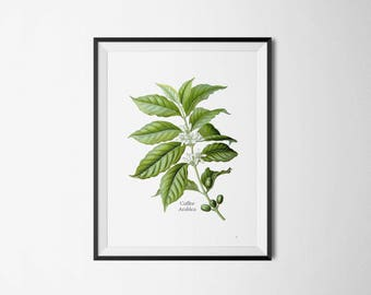 VINTAGE COFFEE PRINT Botanical print of the coffee plant green coffee leaves of coffea arabica kitchen print office print
