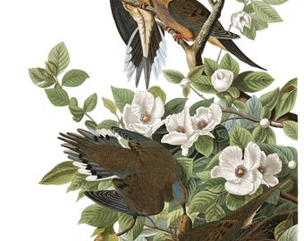 Audubon's Plate 17 Carolina Turtle Dove Cross Stitch Pattern