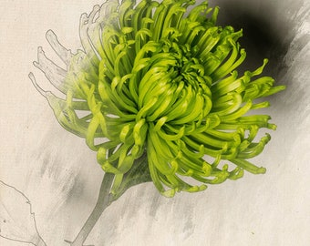 Green Chrysanthemum Sketch Art - Green Plant Sketch Art - Botanical Print - Vintage Style Flower Print - Digital Download