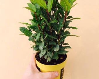 LARGE - Laurus nobilis - Bay Tree , Laurel Herb, Aromatic - Plant in 13cm Pot