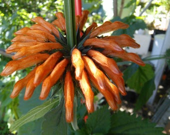 Leonotis Nepetifolia Organic Seed : Lions Tail Wild Klip Dagga, Ornamental Orange Flowers Attract Birds, Permaculture Perennial