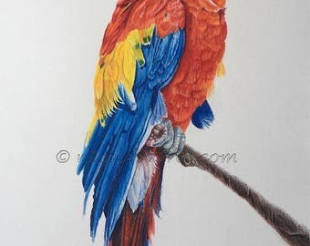 "20% off Macaw, Original Art, Original Drawing 30""x 20"" Macaw Artwork, Original Fine Art, Parrot drawing, Bird wildlife Art, coloured pencil"