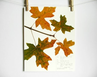 Bigleaf Maple Print, #218a, pressed leaves fall maple leaves pressed plant art herbarium specimen oregon art botanical print dried plant