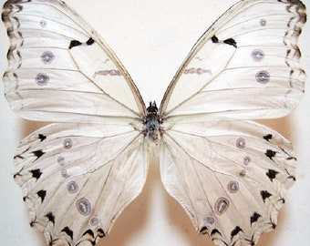 ONE Real Butterfly White Morpho Luna -antennae