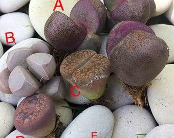 Lithops/Split Rocks/Mimicry Plants/Succulent plant/succulents/indoor plant/succulent arrangement/live plants/cactus/succulent wedding