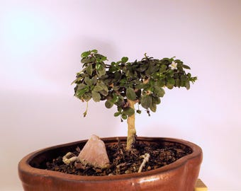 Fukien tea tree bonsai with pink calcite gemstone in a copper colored pot. This bonsai flowers and produces a small red berry.
