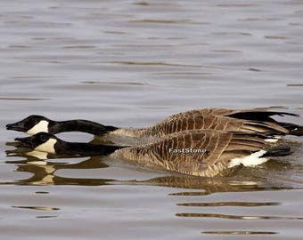 Canada Geese, goose, geese, Nature, photo, print, photography, wall art, home decor, wildlife, metal