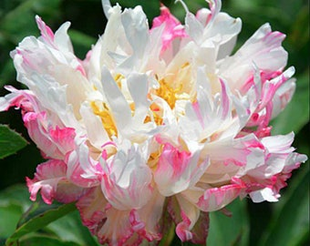 Peony Rooster Reveille (3-5 eye) ~ SHIPPING OCTOBER