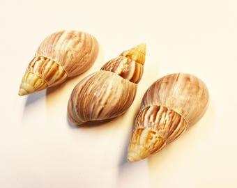 "3 Extra Large Japanese (Fairyland) Land Snail Shells 3""+ (76-88mm) Hermit Crabs"